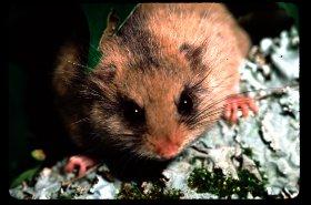 ニホンヤマネ 野生動物の保全と環境教育